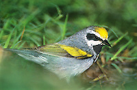 591890002 a wild golden-winged male warbler vermivora chrysoptera in breeding plumage foraging in tall grass rio grande valley texas