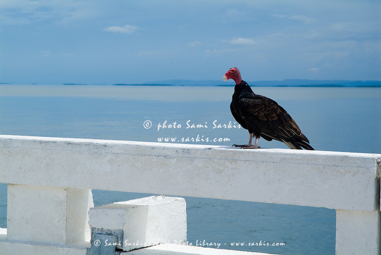 One turkey vulture (Cathartes aura) perched by the sea, along the road heading to Cayo Santa Maria, Cuba.