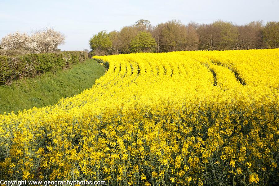 Yellow flowers of oil seed rape or canola crop growing in a field, Eyke, Suffolk, England