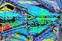 Polybothris sumptuosa gema