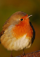 Robin in morning winter sunshine.