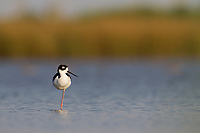 Adult Black-necked Stilt (Himantopus mexicanus) roosting in a restored wetland at Audubon's Paul J. Rainey Sanctuary. Vermilion Parrish, Louisiana.