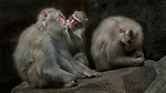 A young monkey plays dentist as it inspects the teeth of an older member of its pack, looking for any lingering scraps of food.  The Japanese macaque spent around 30 minutes tending to the dental hygiene of its elder, at Taman Safari, in Bogor, Indonesia.<br /> <br /> The monkeys take great care when it comes to their dental hygiene, normally cleaning their teeth after every meal, which are known to be remarkably strong.  They are also known to 'floss' their teeth, and pass on their dental techniques to their offspring.  SEE OUR COPY FOR DETAILS.<br /> <br /> Please byline: Tanto Yensen/Solent News<br /> <br /> © Tanto Yensen/Solent News & Photo Agency<br /> UK +44 (0) 2380 458800