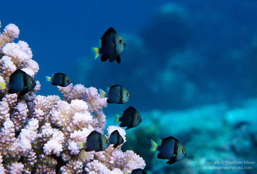 Moorea, French Polynesia; Yellow-tailed Dascyllus (Dascyllus flavicaudus), form groups near coral heads or anemones in 3-40 meters, in Eastern Central Pacific region, Society, Tuamotu and Rapa Islands in French Polynesia, to 11 cm , Copyright © Matthew Meier, matthewmeierphoto.com All Rights Reserved