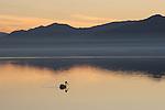 White pelican at dusk.  Salton Sea SRA