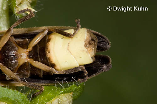 1C24-667z  Pyralis Firefly light close-up Male Lightning Bug - Photinus spp.