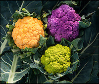 BNPS.co.uk (01202 558833)<br /> Picture: PhilYeomans/BNPS<br /> <br /> The Ortoli, Grafitti and Vitaverde cauliflower.<br /> <br /> A farmer has launched a campaign to get more vegetables onto people's plates - by turning the common cauliflower bright shades of purple, green and orange.<br /> <br /> The 'rainbow' caulis are part of Andrew Burgess' masterplan to improve the diets of Brits by making vegetables more mouth-watering.<br /> <br /> Andrew hopes the colourful cauliflowers could reinvigorate the nation's love for vegetables - and also attract a new legion of fans.