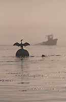 Double-Crested Cormorant (Phalacrocorax auritus) Drying its Wings, Castine, Maine, US