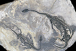 Mosasaur fossil (Keichousaurus hui), Triassic Period, China.