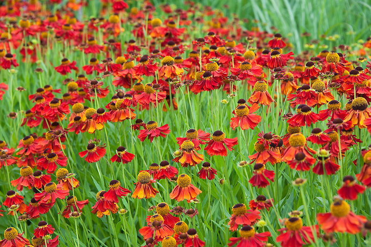 Helenium 'Moerheim Beauty', mid July.