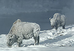 frosted bison near the Firehole River on a very cold morning