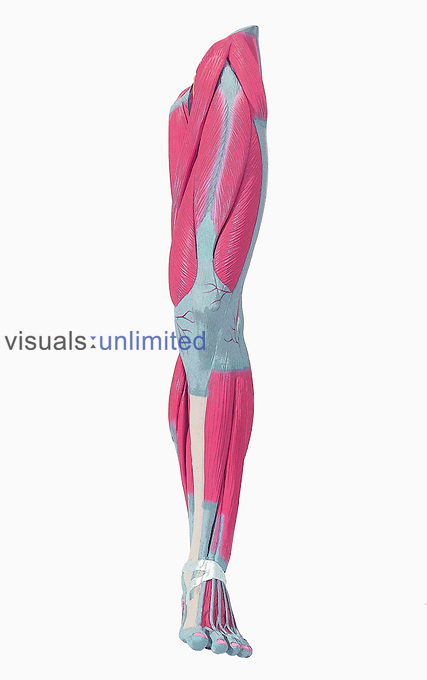 Royalty free - model of human leg and foot showing muscle.