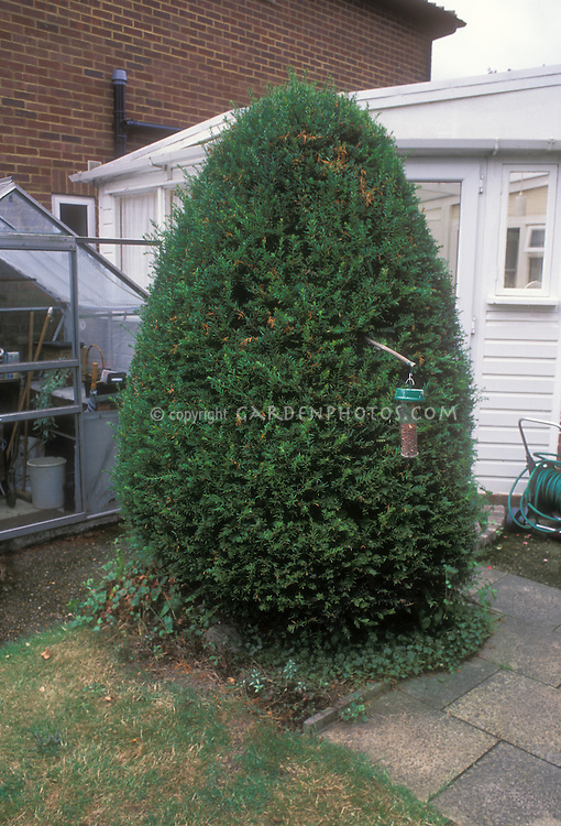 Pruned Yew Evergreen Fully Recovered From Pruning Plant Flower