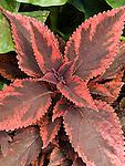 Coleus Religious Radish, Coleus blumei hybrid