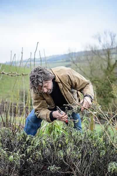 Dan cutting back Salvia officinalis (Sage)