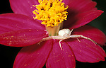 Flower crab spider (Misumena vatia) - waiting on flower head to pounce on prey insect  white pink .Belize....