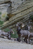 Desert Bighorn Sheep seen in southern Utah's Zion National Park on a summer day.