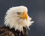 Winter Bald Eagles of Alaska