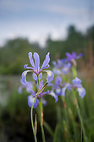 Slender Blue Flag wildflowers, Pine Barrens, New Jersey