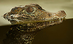 Cuviers Dwarf Caiman, Paleosuchus palpebrosus, South America, captive, laying in water, reflection, smallest species of crocodilian, and thought to be the most primitive, IUCN Red List, Lower risk