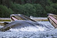 adult humpback whales, Megaptera novaeangliae, bubble net feeding, Chatham Strait, Alaska, USA, Pacific Ocean