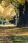 Rows of maple trees line the streets in the university neighborhood in Missoula, Montana
