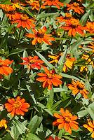 Zinnia 'Profusion Fire' summer annual flowers, angustifolia hybrid