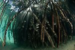 Red mangrove (Rhizophora mangle) roots at high tide