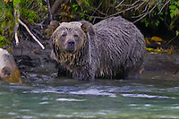Grizzly Bear searching for fish in the Mitchell River