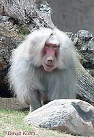 0719-1105  Male Hamadryas Baboon, Papio hamadryas  © David Kuhn/Dwight Kuhn Photography.