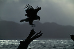 Silhouette of bald eagle landing on tree in Homer, Alaska.