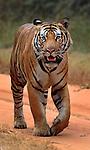 Majestic Tigers