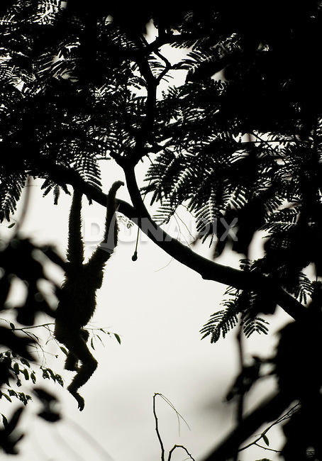 Silhouette of a white-handed gibbon, brachiating through the forest at Gunung Leuser National Park.