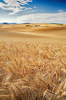 Wheat field. The Palouse. Washington
