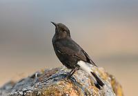 Black Wheatear - Oenanthe leucura
