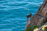 Juvenile Spanish Ibex ( capra pyrenaica ) standing on cliff above mediterranean sea, Almeria,Andalucia, Spain.