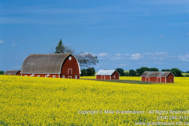 canola and red barns<br />