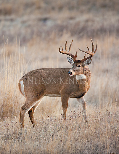 Tropht Whitetail buck in Montana