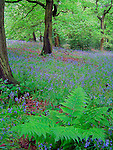 Blue; Bluebell; England; Great Britain; Green; Tree; United Kingdom; West Yorkshire; Wild Flowers; Wood; Yorkshire; Fern