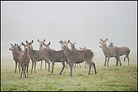 BNPS.co.uk (01202 558833)<br /> Pic: RachelAdams/BNPS<br /> <br /> ***Please use full byline***<br /> <br /> The bemused doe deer pine for the shot Monarch. <br /> <br /> One of the biggest and best known stags in Britain has been shot dead by poachers desperate to get their hands on its prized antlers worth &pound;1,000.<br /> <br /> The huge 16-year-old red deer, known as The Monarch because of its regal stature, was gunned down on private land in the New Forest.<br /> <br /> It is believed the Monarch was shot by poachers wanting to chop off his head and impressive 16-point antlers and mount it as a trophy.<br /> <br /> The antlers alone are thought to be worth around &pound;1,000.<br /> <br /> Poachers fired at the enormous beast with a shotgun but the impact was not enough to kill it and it evaded its would-be captors.<br /> <br /> But, mortally wounded, its lifeless body was found later floating in a lake where it is thought to have drowned.<br /> <br /> The Monarch was so well known and revered in the New Forest that gift shops sell souvenirs  with pictures of him on it including mugs, clocks and jewellery.<br /> <br /> His death comes three years after another huge red stag dubbed the Exmoor Emperor was shot dead by a hunter.<br /> <br /> The Monarch was the biggest of a herd of 40 red deer owned by farmer Dan Tanner and kept at Burley Park near Ringwood, Hants.