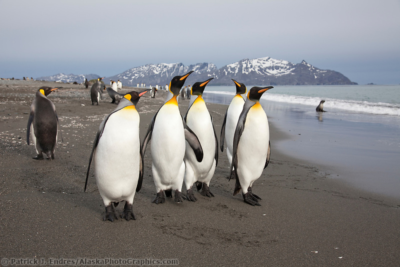 King penguins, Salisbury Plain, South Georgia Island