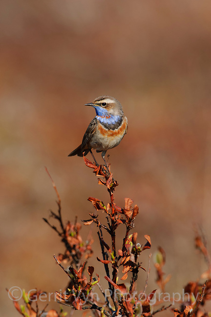 Adult male Bluethroat (Luscinia svecica) in breeding plumage perched on a willow. Seward Peninsula, Alaska. June.