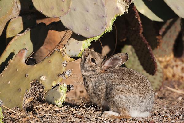 Desert Cottontail (Sylvilagus audubonii) eating cacti, Bosque del Apache National Wildlife Refuge , New Mexico, USA