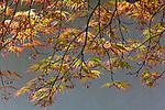 Japanese maple (Acer palmatum), Portland Japanese Garden, Portland, Oregon, USA<br /> <br /> Canon EOS 5D Mark II, EF70-200mm f/4L IS USM lens, f/16 for .4 second, ISO 160