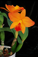 Cattlianthe aka Guarisophleya formerly Sophrolaeliocattleya Hazel Boyd 'Apricot Glow', AM/AOS. Orchid hybrid of Cattleya California Apricot x Cattlianthe Jewel Box, 1975, growing in pot, minicattleya type