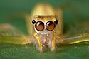 Jumping Spider (Salticidae). Maliau Basin, Sabah, Borneo, Malaysia.