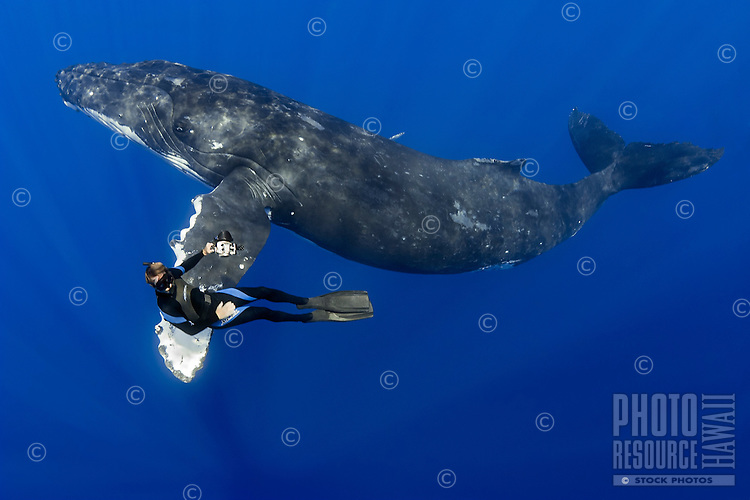 Humpback whale, Megaptera novaeangliae, and diver, Pacific Ocean.