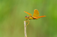 304570013 a wild male mexican amberwing perithemis intensa perches on a dead twig  in patagonia lake state park santa cruz county arizona united states