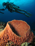 Orchid Island, Taiwan -- Divers over an orange barrel sponge.