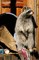 Raccoon raiding garbage